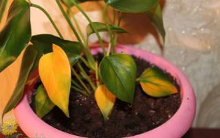 Цветок Антуриум: желтеют листья — что делать