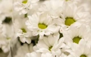 Хризантема Бакарди — посадка и уход в открытом грунте