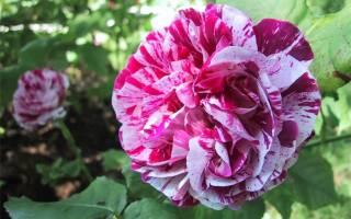 Роза Фердинанд Пичард (Ferdinand Pichard) — описание ремонтантного сорта