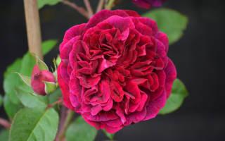 Роза Манстед Вуд (Munstead Wood) — описание сортового растения