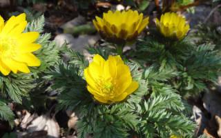 Цветок адонис — посадка и уход в открытом грунте