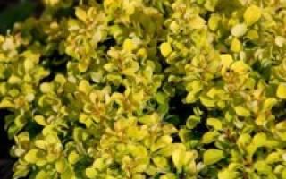 Барбарис Голден Рокет — описание и выращивание