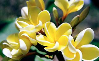 Плюмерия: уход в домашних условиях и способы размножения